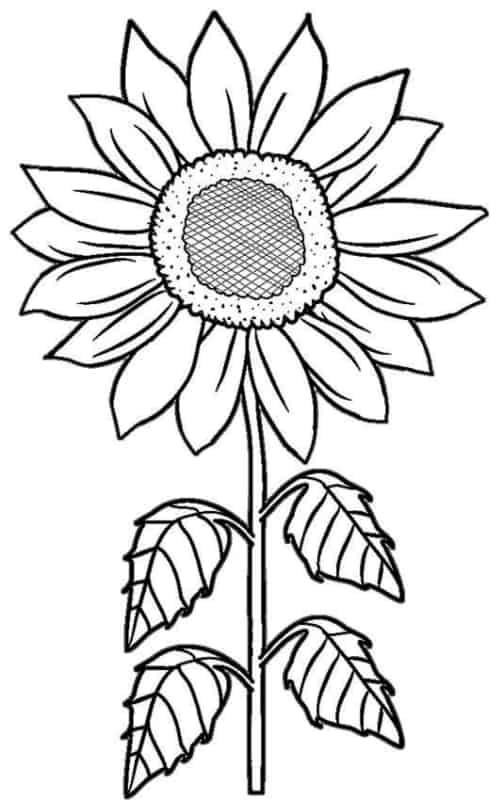 desenho de girassol com folhas para colorir