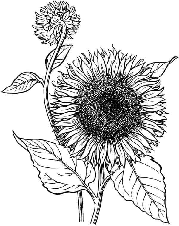 flor de girassol para imprimir e pintar